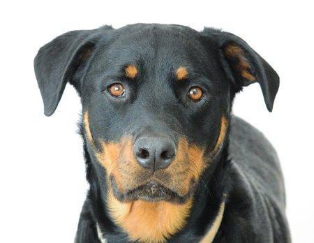 כלב רוטווילר מהסוג שנבח עלי בדירה בחיפה